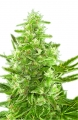Nasiona Critical Auto Outdoor | GrowSeed.pl