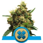 ROYAL QUEEN SEEDS - Painkiller XL CBD