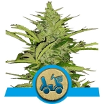 ROYAL QUEEN SEEDS - Fast Eddy Automatic CBD