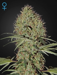 GREEN HOUSE SEEDS - Super Bud Auto