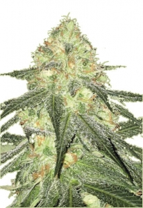 Sour Diesel auto nasiona marihuany