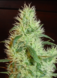 FANTA SEEDS - White Widow