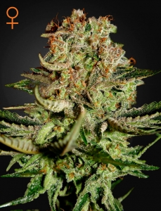GREEN HOUSE SEEDS - Super Bud