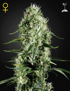GREEN HOUSE SEEDS - Super Silver Haze