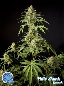 Philo Skunk (Gokunk)