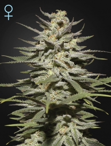 GREEN HOUSE SEEDS - Super Lemon Haze CBD