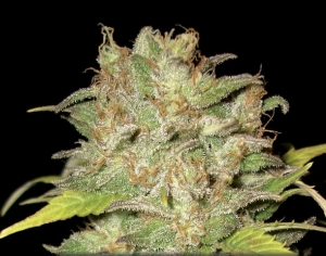 CBD SEEDS - Widow