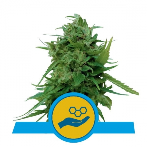 solomatic-cbd-royal-queen-seeds.jpg