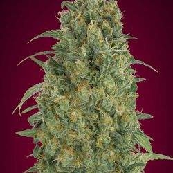 automatik-collection-5-advanced-seeds.jpg