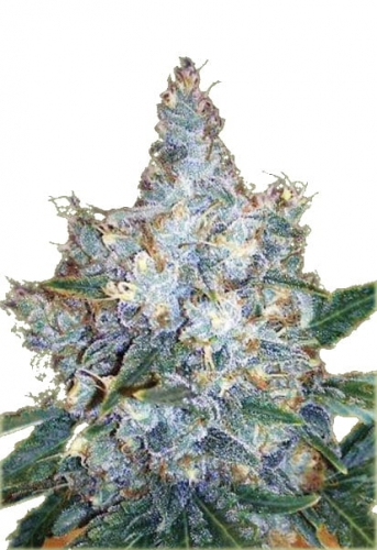 Auto-Blueberry_Berry_1.jpg